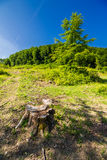 Stump on logging place near forest Royalty Free Stock Photos