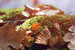 Stump with moss and brown leaves in the forest royalty free stock images