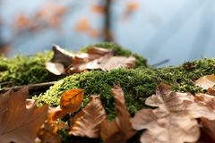 Stump with moss and brown leaves in the forest royalty free stock photo