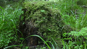 Stump with moss in the forest. Mossy stump in the woods stock video