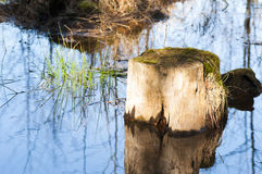 Stump. A stump with moss in a lake near the shore on a spring day stock photo