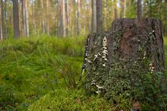 Stump with moss and lichen Royalty Free Stock Images