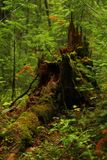 A stump with moss in the middle of the forest stock images