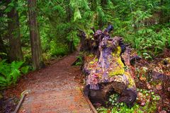 Stump and mossy tree trunks in Holland Creek trail, Vancouver Is Stock Images