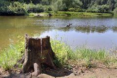 Stump near a forest lake Royalty Free Stock Photography