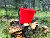 Stump nella foresta con molti bei funghi commestibili saporiti con un secchio rosso e un coltello tagliente nel legno immagine stock