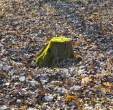 Stump of oak tree Stock Images