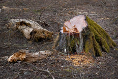 Stump of old tree Stock Image