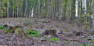 Stump of an old tree felled, South Bohemia stock image