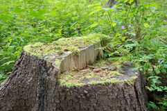 Stump of an old  tree Royalty Free Stock Photography