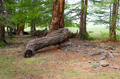Stump With other trees Royalty Free Stock Photography