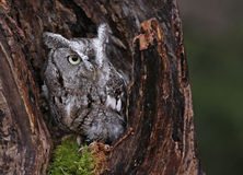 The Stump and the Owl. A close-up of an Eastern Screech Owl (Megascops asio) sitting in a stump Royalty Free Stock Photography