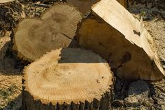 Stump and piled pieces of felled wood. The concept of the destruction of forests and trees. Image stock photography
