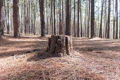 Stump of Pine tree in Coniferous forest. A stump of Pine tree in Coniferous forest Stock Images