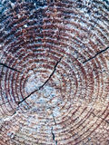 Stump of pine tree felled with annual rings Royalty Free Stock Photo