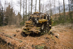 Stump with polypores Royalty Free Stock Photography