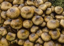 Stump Puffball fungi Royalty Free Stock Photo
