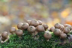 Stump puffball,  Lycoperdon pyriforme. Group of pear-shaped mushrooms Stock Photo