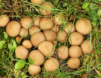 Stump puffball, Lycoperdon pyriforme. Royalty Free Stock Photography