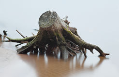 Stump and root of dead  tree in river at the beach  in the blur Stock Image