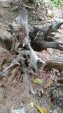 Stump. Root tree land garden Royalty Free Stock Photo