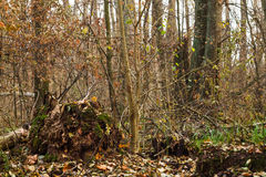 Stump, roots and branches in the old  forest Royalty Free Stock Photo