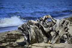 Stump on the sand beach with seabeed Royalty Free Stock Images