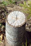 Stump of sawn aspen. Vertical close-up photo Stock Photography