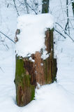 Stump with snow in winter forest Royalty Free Stock Photos