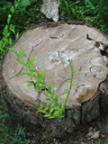 Stump and sprout. Sawn stump and fresh green sprout Stock Photos