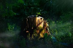 Stump in the spruce forest royalty free stock photo