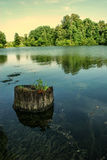 Stump sticking out of the water with algae.  stock photos