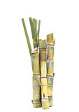 Stump of Sugar cane isolated Stock Images