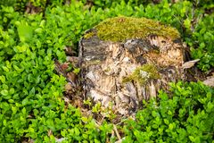 Stump surrounded by thickets of blueberries. Fresh greens Stock Image