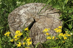 Stump surrounded by yellow flowers Stock Image