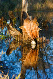 Stump in a Swamp. Royalty Free Stock Images