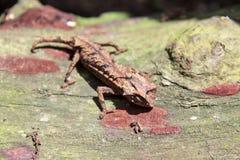 Stump-tailed Chameleon Stock Images