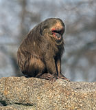 Stump-tailed macaque 4 Stock Photo