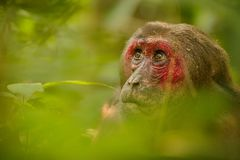 Stump-tailed macaque with a red face in green jungle Stock Photo