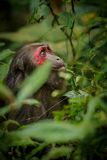 Stump-tailed macaque with a red face in green jungle Royalty Free Stock Image