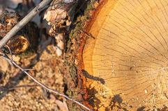 Stump_6. Stump texture as nature background Stock Photos
