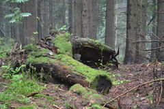 A stump thickly covered with moss in the thicket of the forest Stock Images