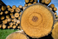 Stump of tree felled - section of the trunk with annual rings Royalty Free Stock Photo