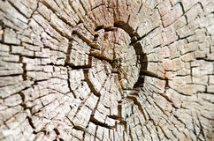 Stump of tree felled - section of the trunk Royalty Free Stock Photography