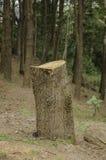 Stump of tree Royalty Free Stock Image