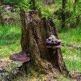 Stump tree polypore mushroom wild nature background Royalty Free Stock Image