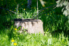 Stump among trees summer. Stump among trees and flower in summer Royalty Free Stock Image