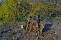 A stump of trimmed tree. On the background of heaps of branches Royalty Free Stock Image