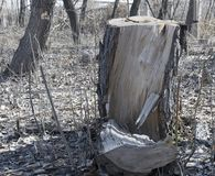 Stump. Very old tree. Stump. Spilled tree in an abandoned park.Very old tree Stock Image