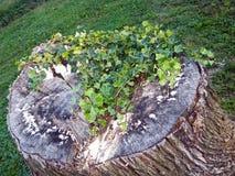 Stump with Vine Stock Photos